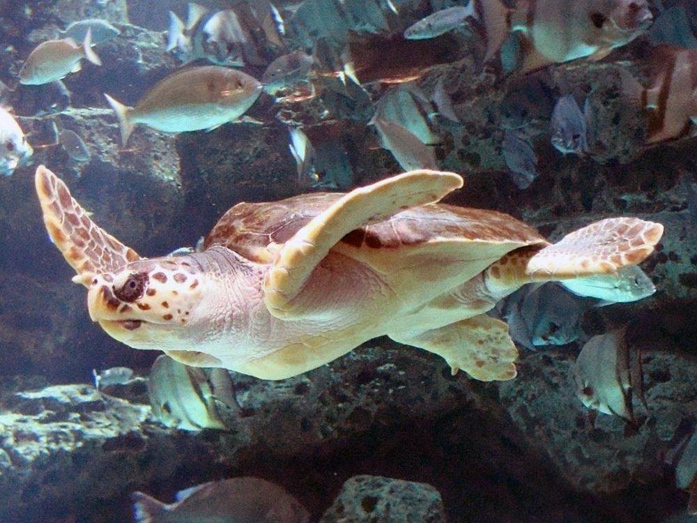 Loggerhead Sea Turtle. Image: Wikimedia user Mike Gonzalez