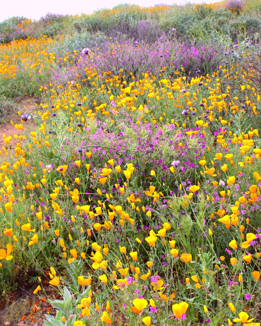 lake-elsinore-super-bloom-4