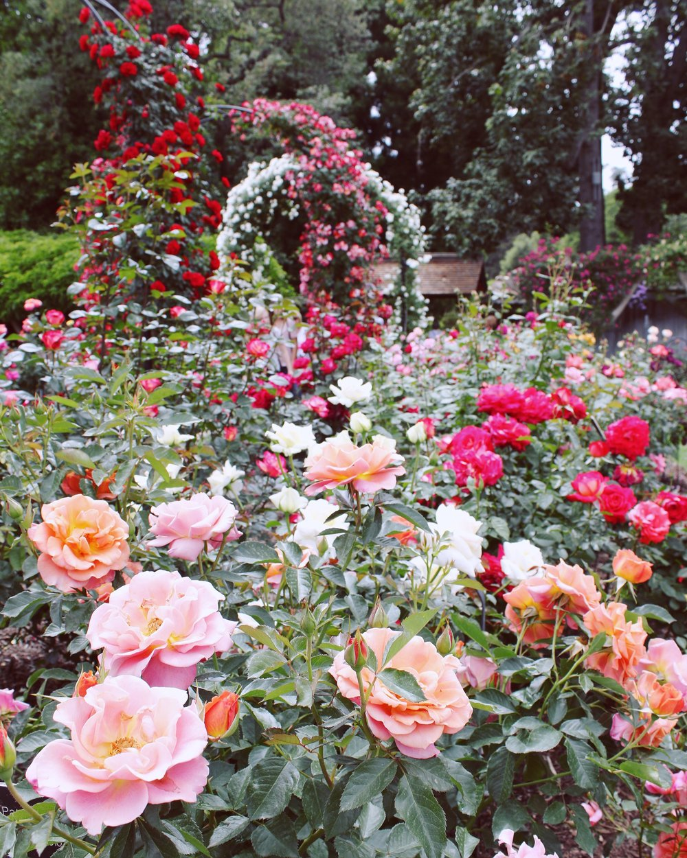 girlandtheword-rose-gardens-huntington-library-2