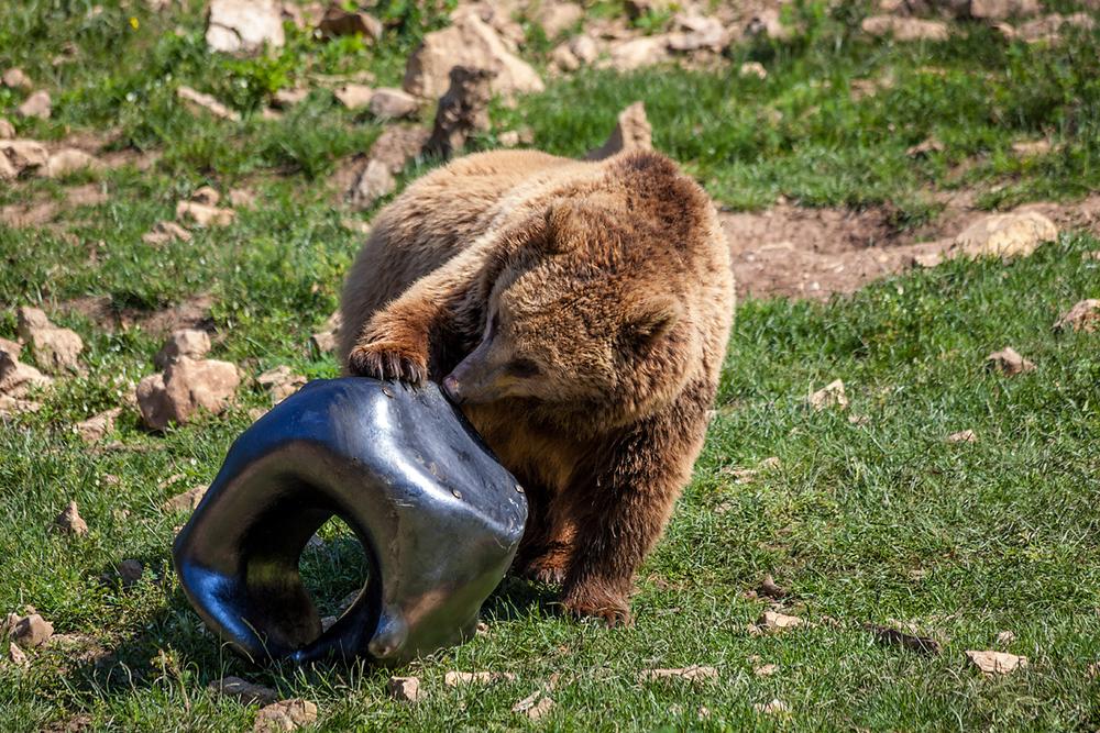 TAME BEAR GOES WILD