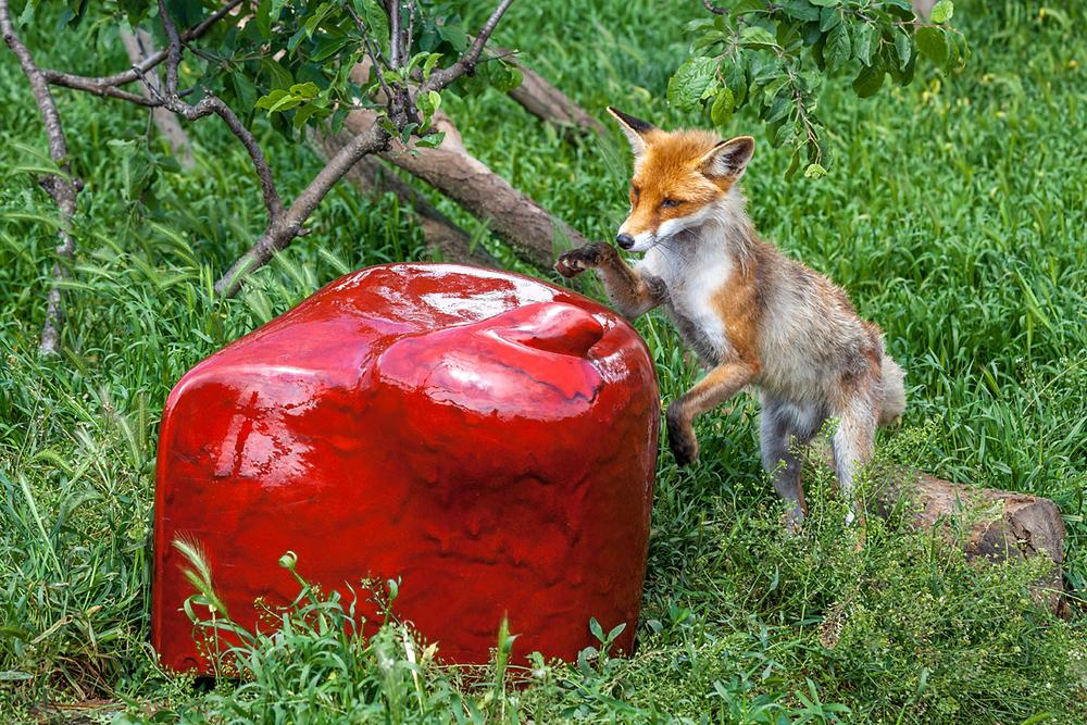 TAME FOX GOES WILD