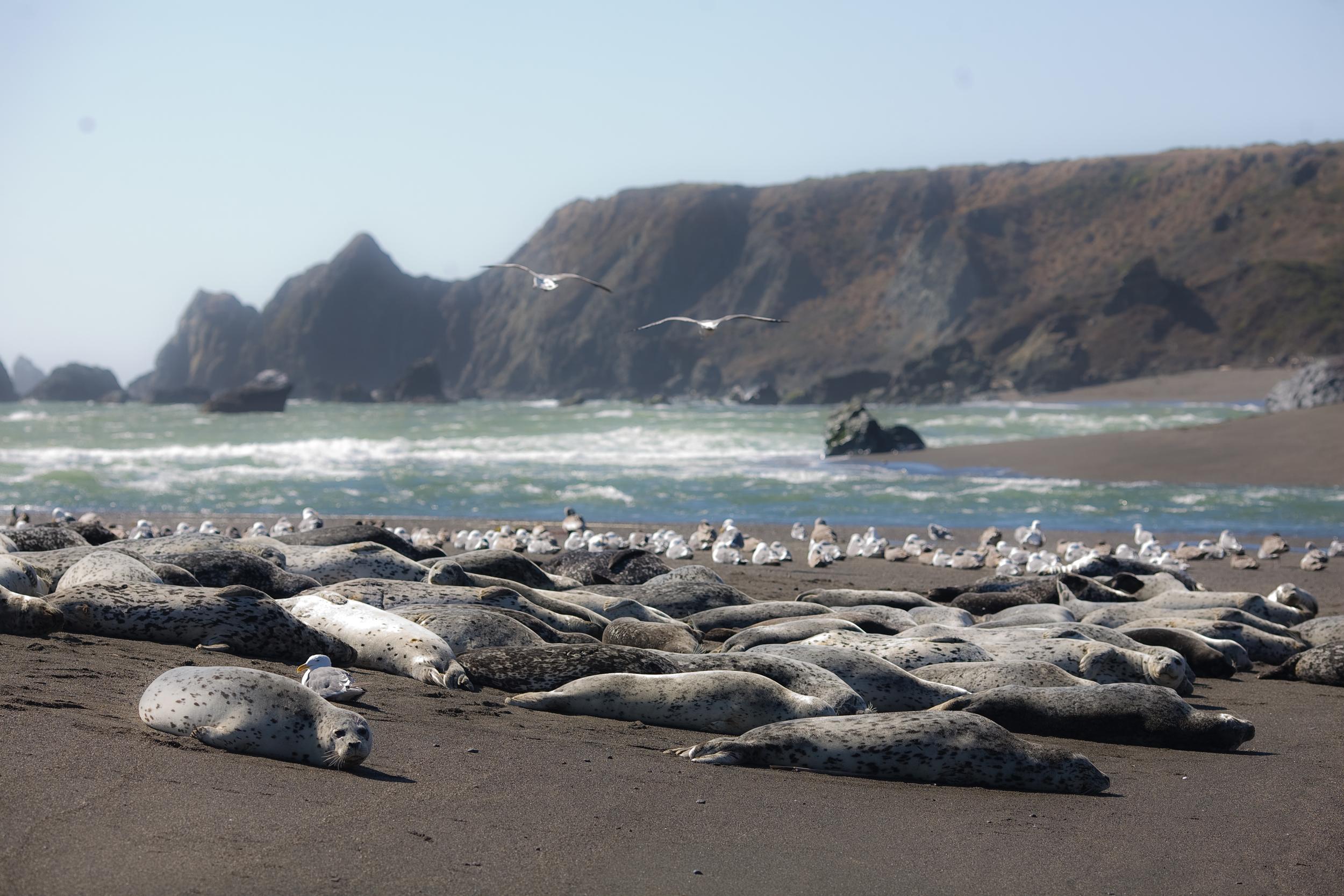 Harbor Seals At Bodega Bay