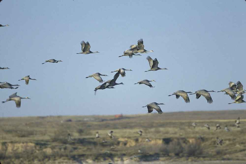sandhill-cranes-flying.jpg