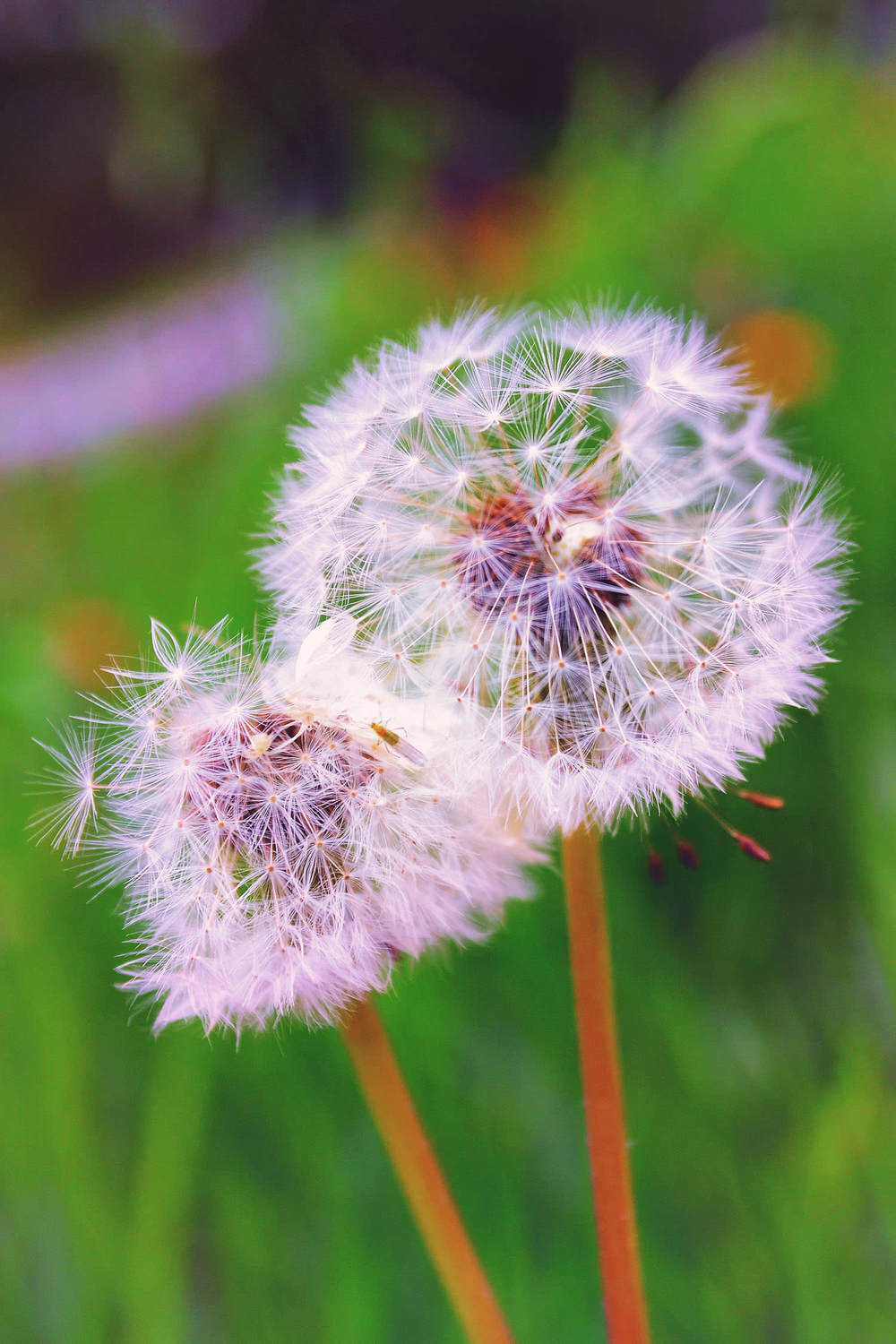 nature-photo-luxembourg-dandelion.JPG
