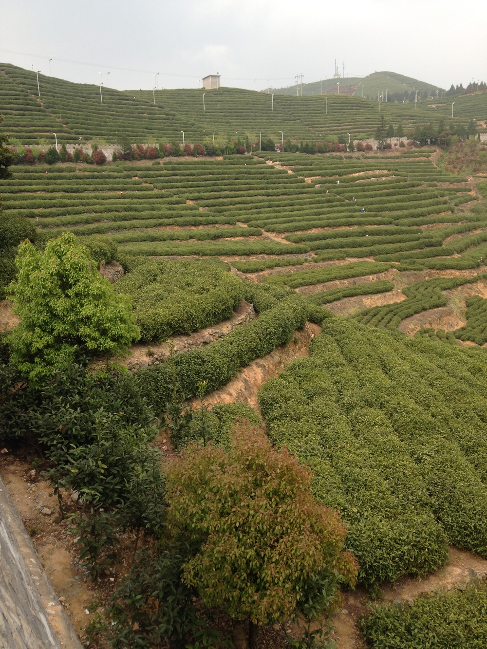 Last order of business during the visit: a steep climb to Yangyan Mountain tea farm,
