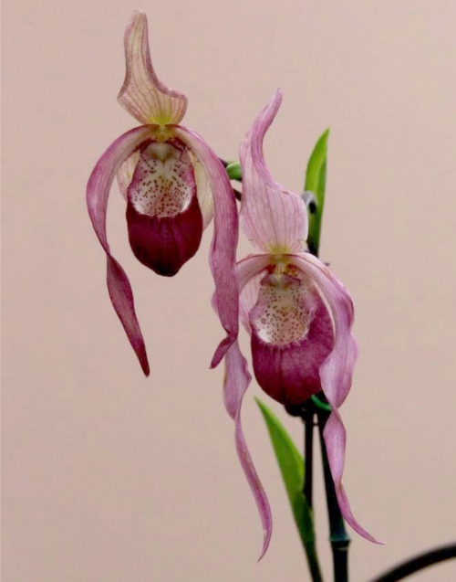 Paphiopedilum schroderae  First Place Award - November 2015  Grower: Tammy and Jamie Anderson
