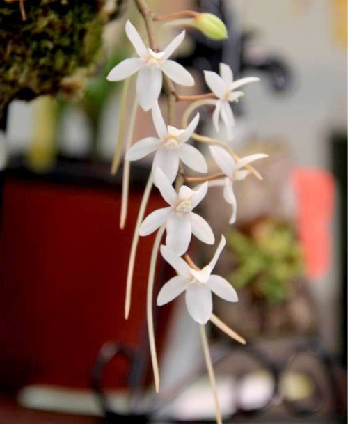 Aerangis mystacidii  First Place Award - November 2015 Grower: Bob Lauphlin