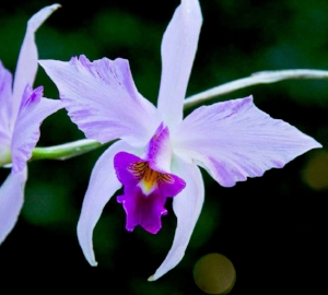 Speaker: Nancy Benay  Topic: Orchids of France