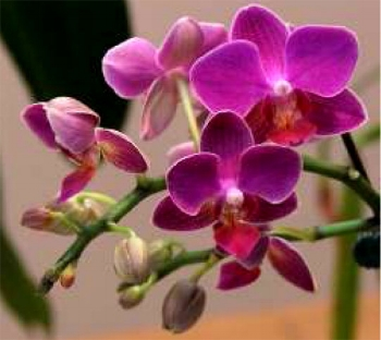Speaker: Ken Cameron, Ph.D.  Topic: The Power of Movement in Orchids - Fast Action Floral Snap-Traps in Porroglosum