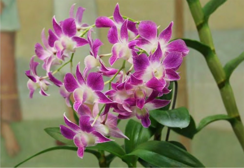 Dendrobium Micro Chip  Culture Award - July 2018  Grower: Jim Wheeler
