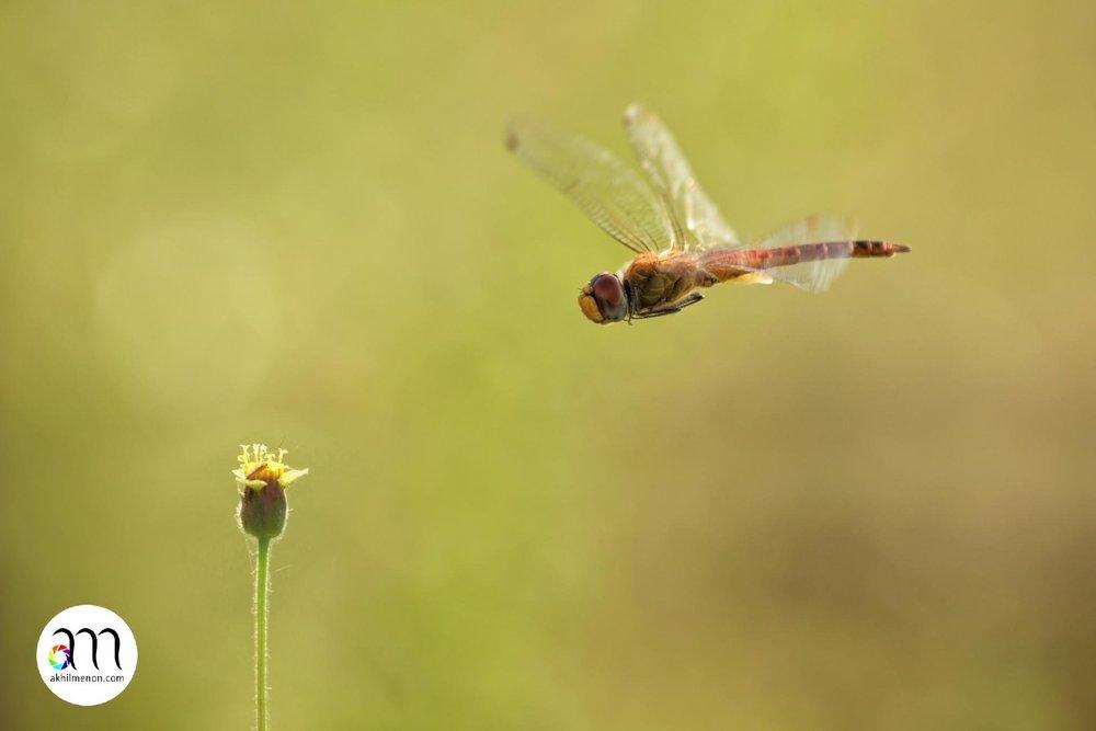 Orange-winged dropwing