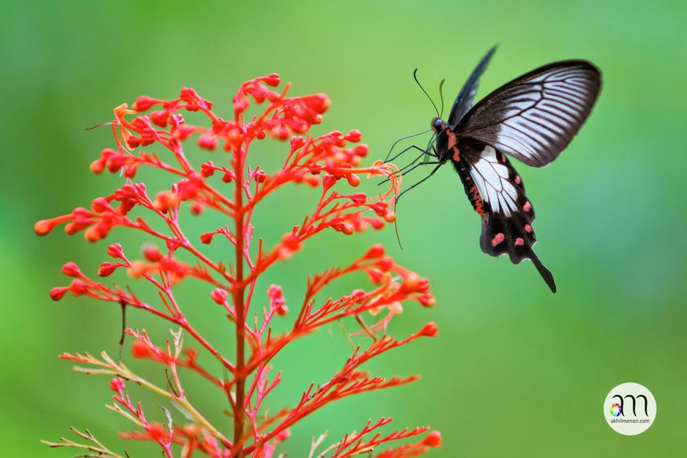 Malabar Rose Butterfly