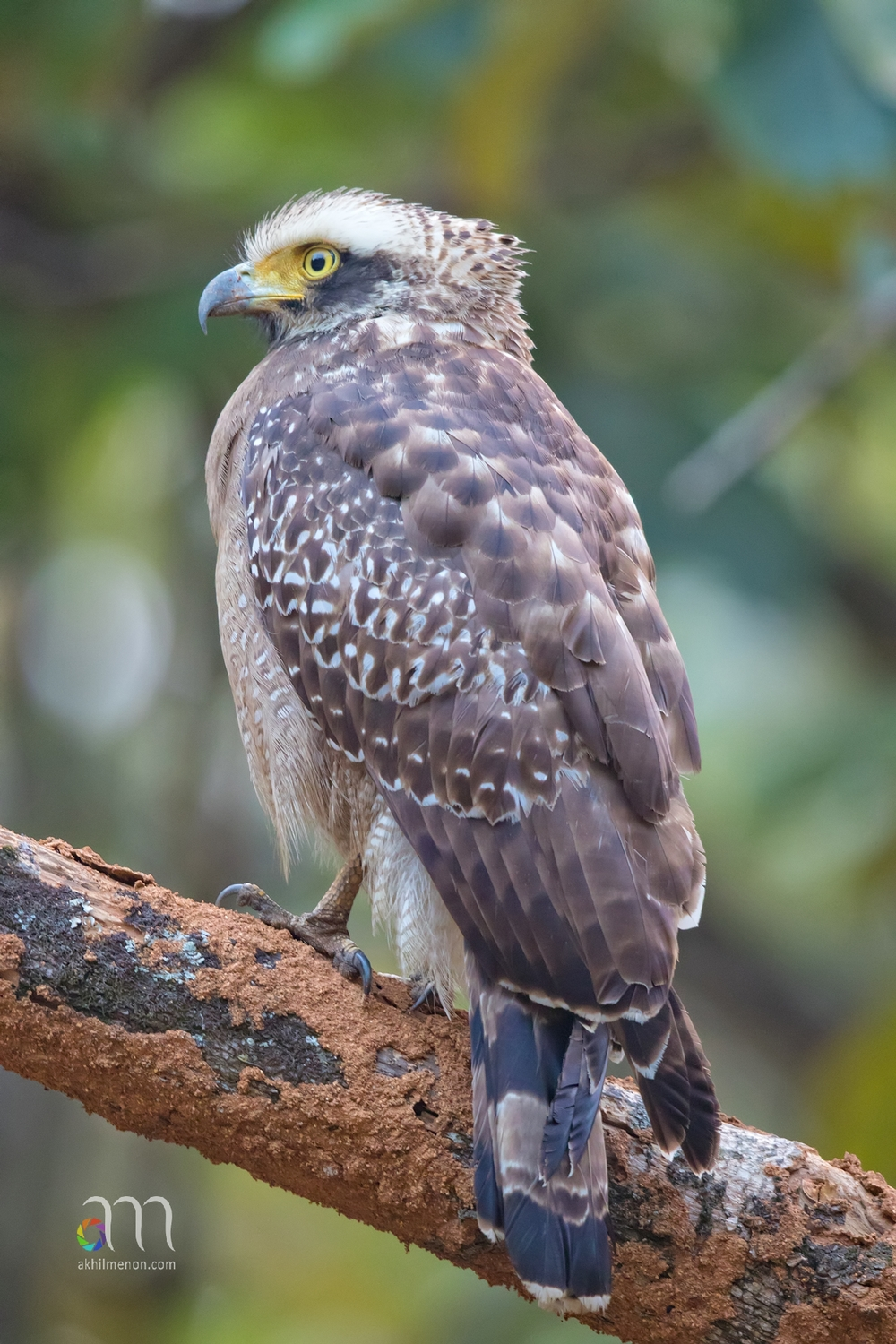 Crested Serpent Eagle Juv.
