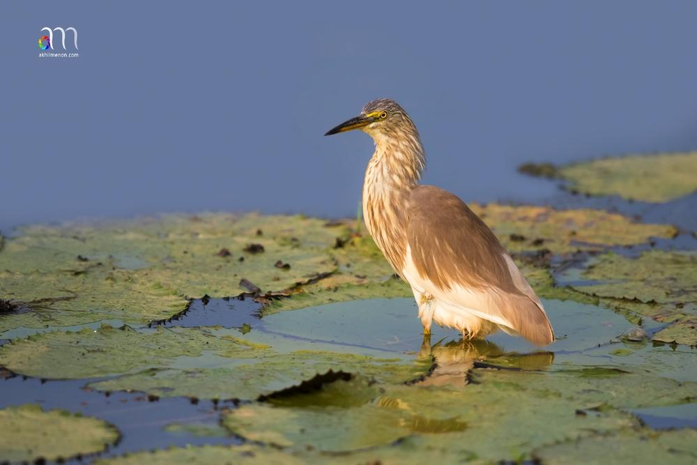 Pond Heron Non-Br