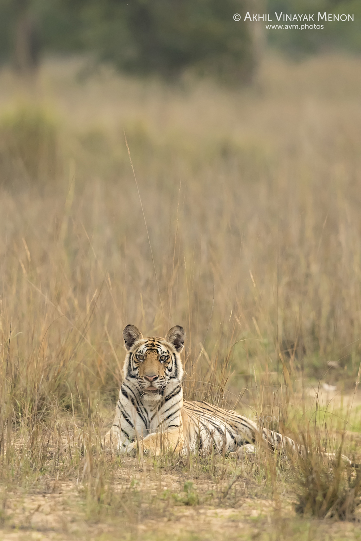 Bengal Tiger (Sub-Adult)