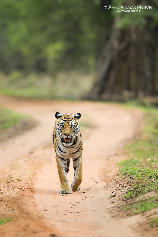 Tigress Head-On