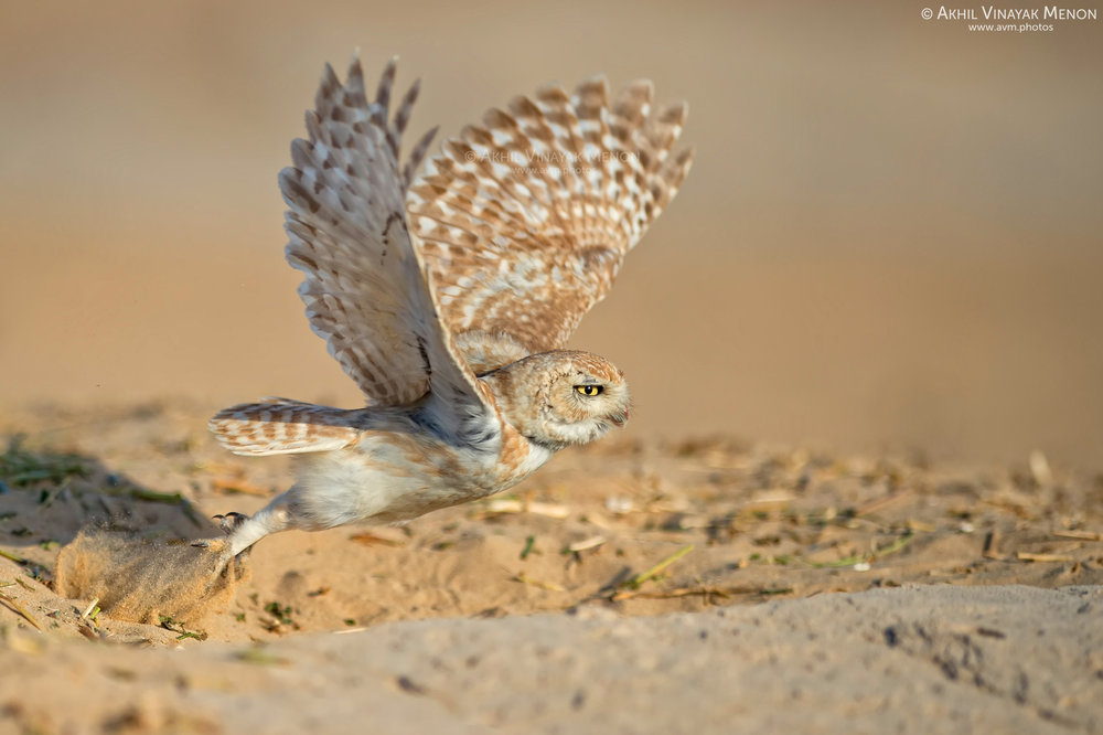 Lilith Owl in Dubai City Outskirts