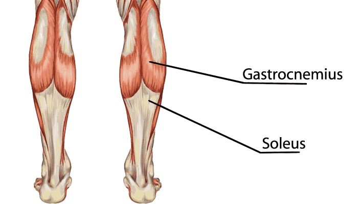 gastrocnemius muscle - 700×410