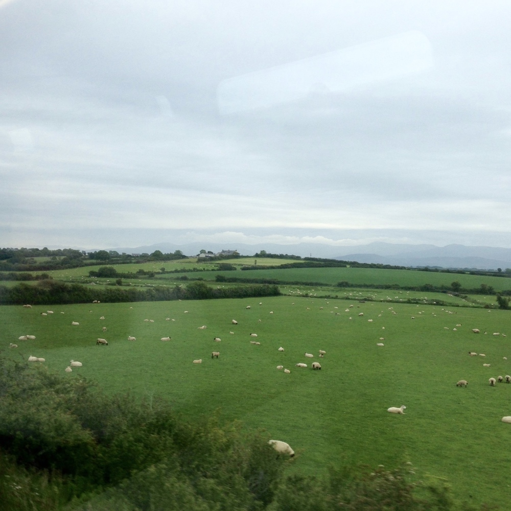 irish sheep!