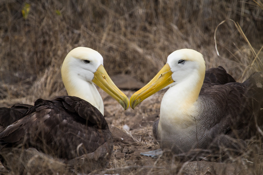 Waved Albatrosses on Espanola Island.