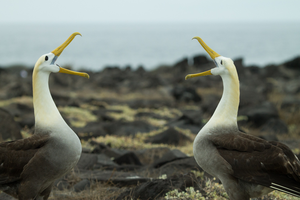 Waved Albatross mating dance on Espanola Island.