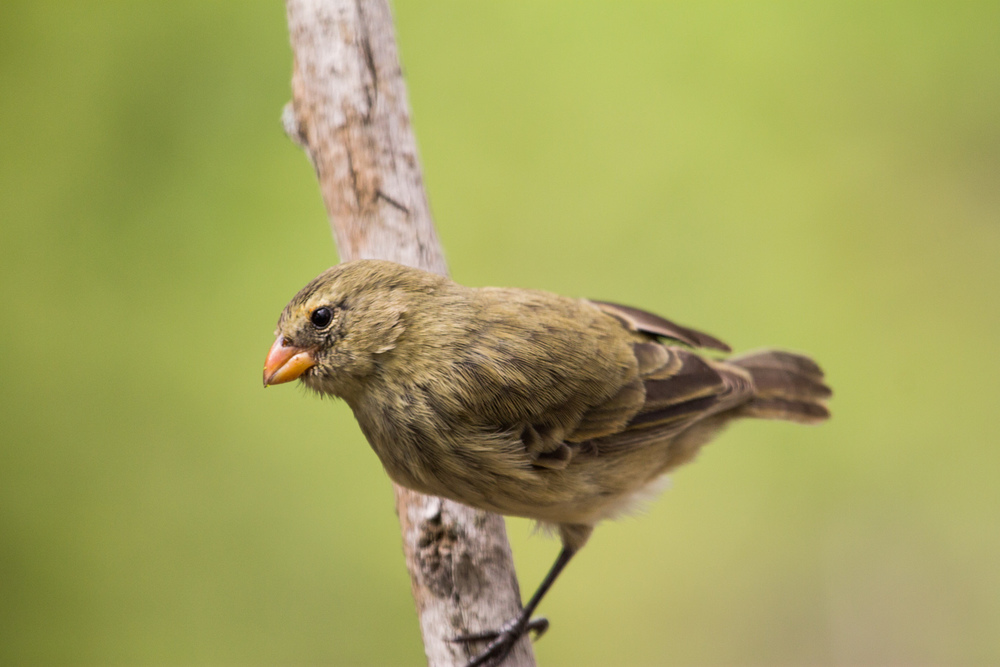 Darwin's finch on Santa Cruz Island.