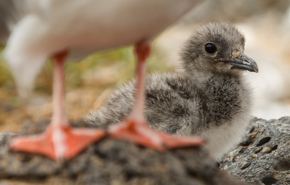 Baby Galapagos gull.