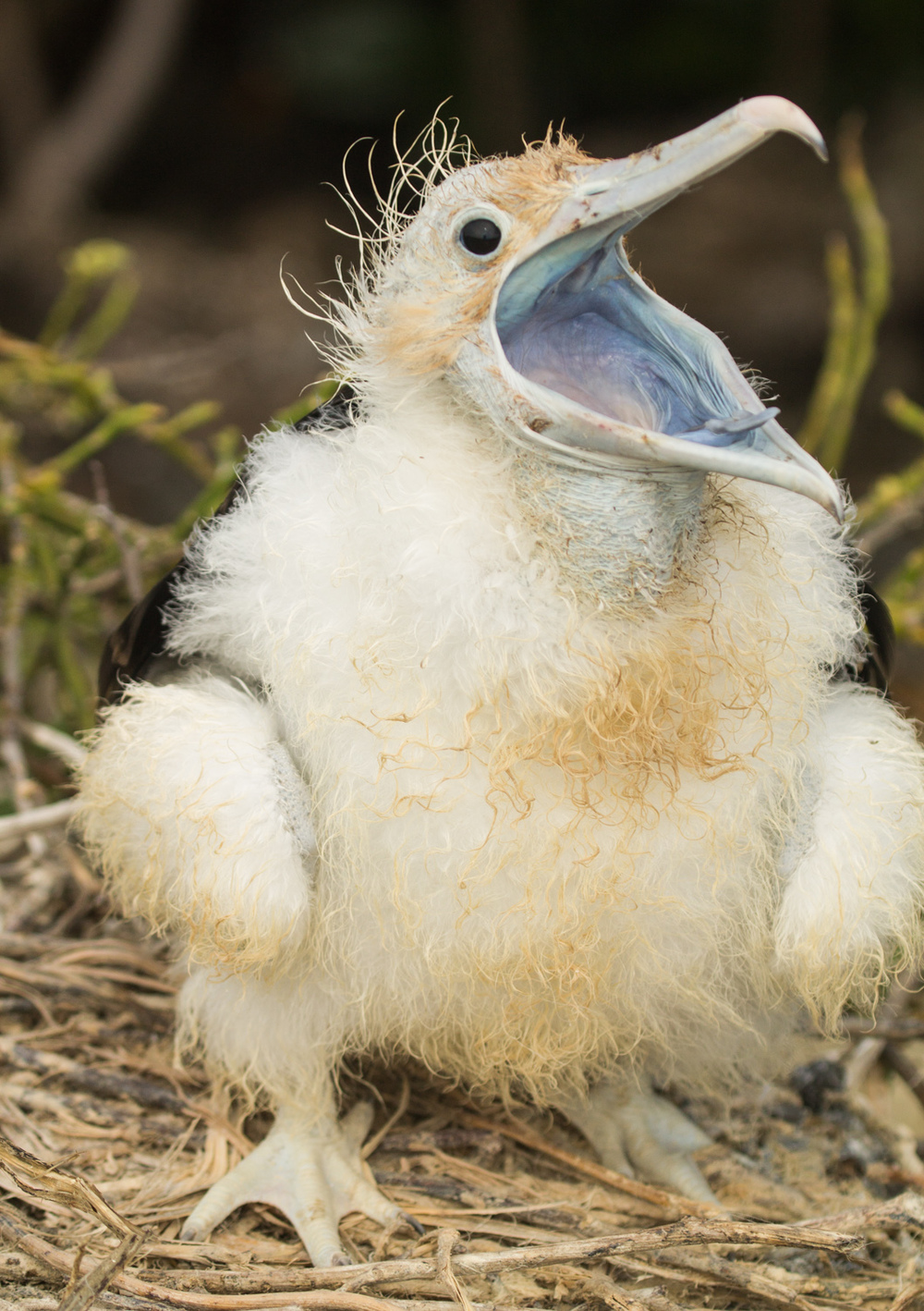 Baby magnificent frigatebird.