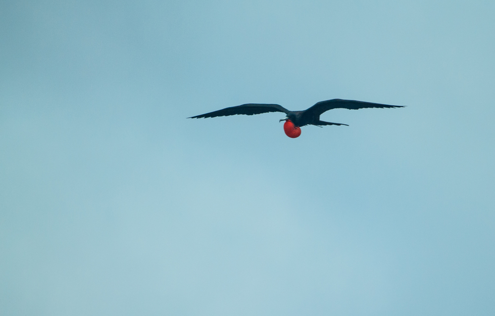 Magnificent frigatebird.
