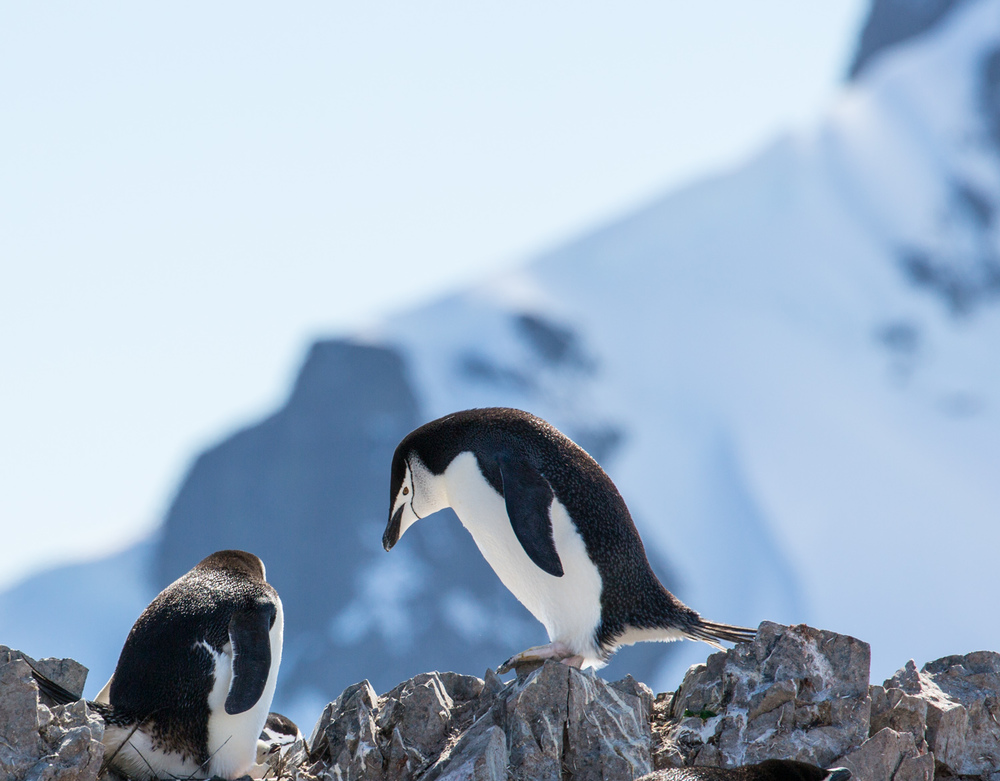 Chinstrap penguins, high above Orne Harbor.