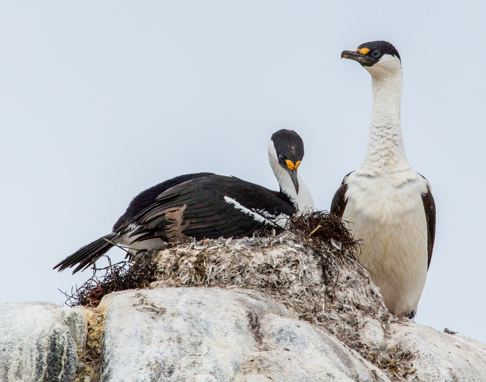 Blue-eyed shags nesting on Jougla Point, Wiencke Island.