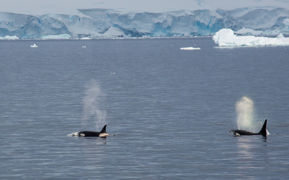 Killer whales in the Gerlache Strait.