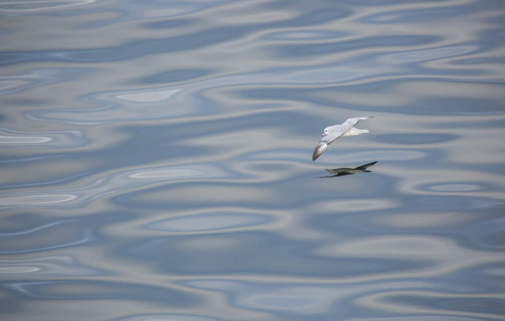 Antarctic fulmar in the Gerlache Strait.