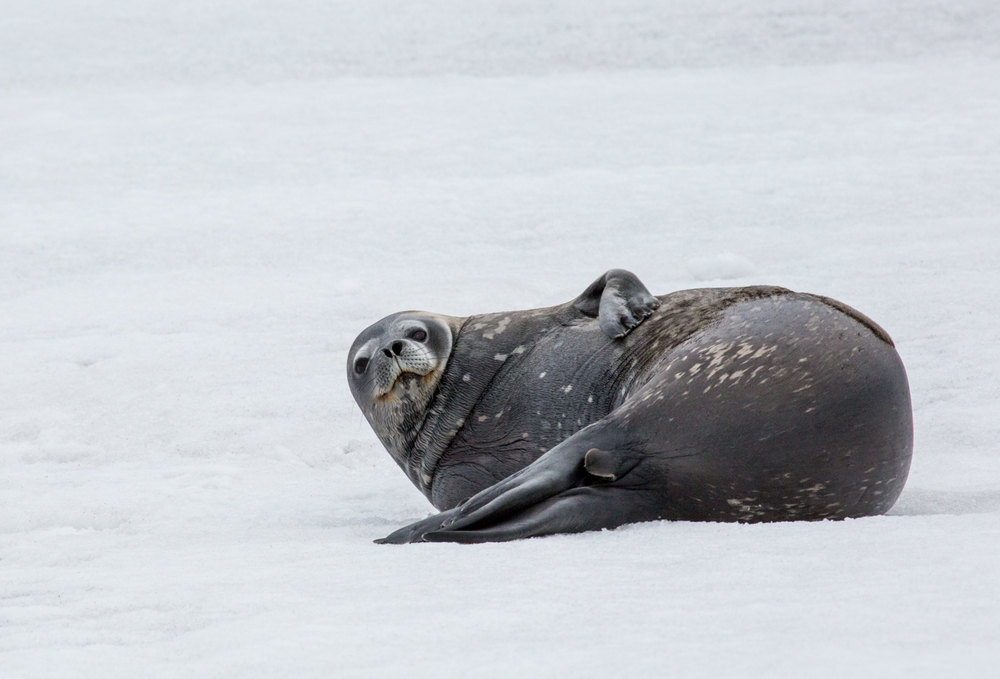 Weddell seal at Telefon Bay, Deception Island, South Shetland Islands.