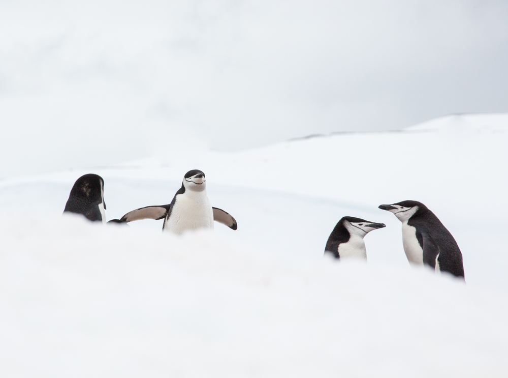 Chinstrap penguins on Half Moon Island.