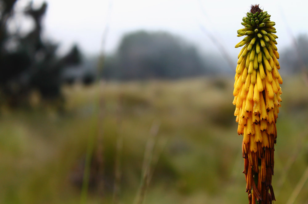 Red-hot poker plant on the way up Mount Kilimanjaro.