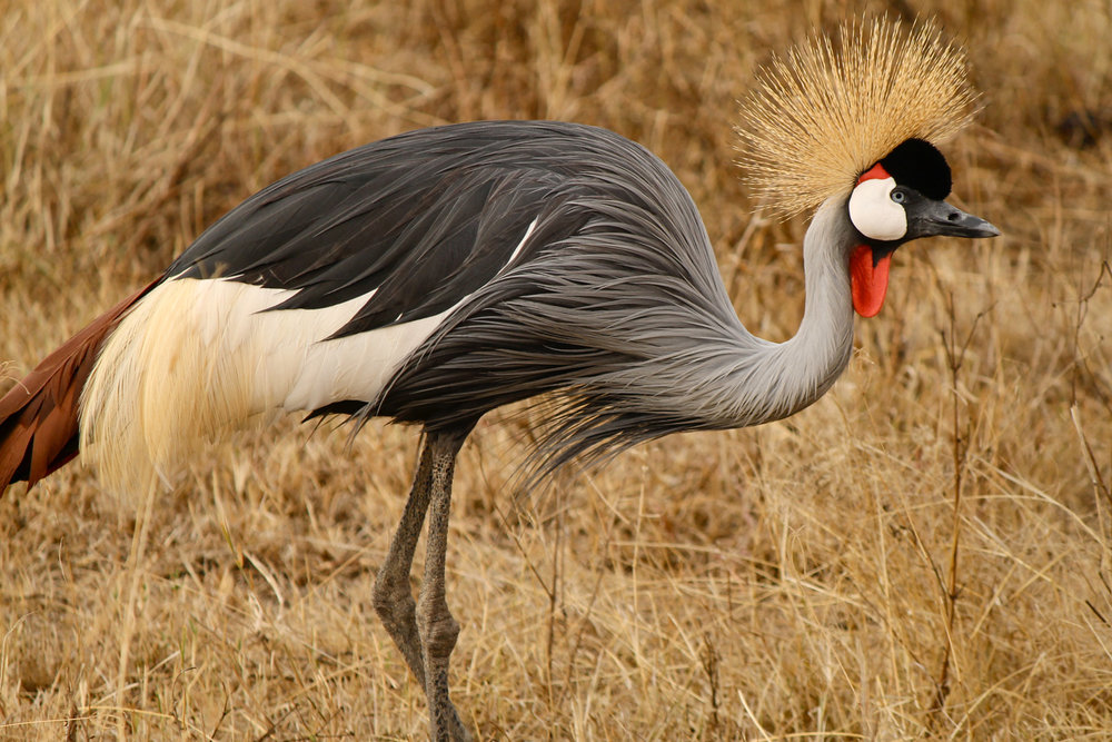 Crowned crane in Ngorongoro Crater.