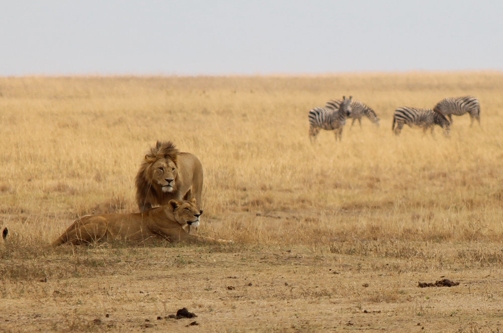 Lions ignoring zebras in Ngorongoro Crater.