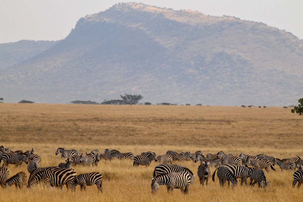 Zebras in Ngorongoro Crater.
