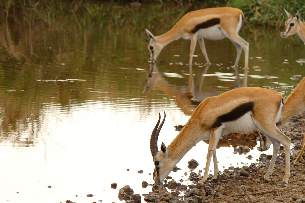 Thomson's gazelles at a water hole in Serengeti National Park.