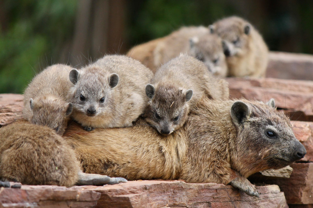 Rock hyraxes napping in Serengeti National Park.