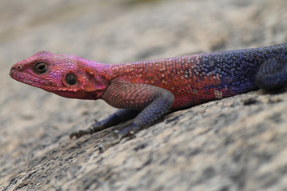 Agama lizard in Serengeti National Park.