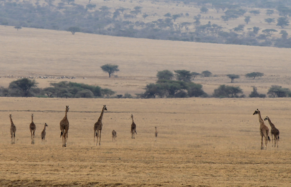 Giraffes in northern Tanzania.