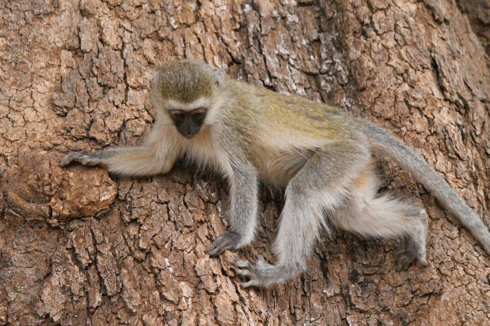 Vervet monkey in Lake Manyara National Park.
