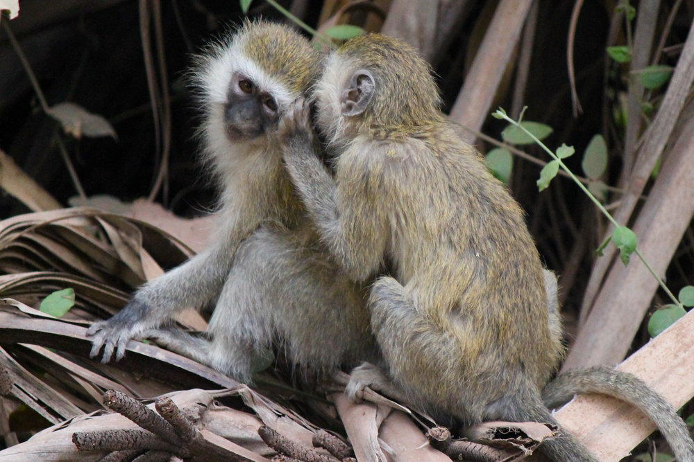 Vervet monkeys in Lake Manyara National Park.