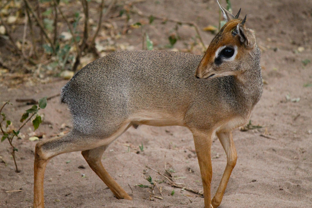 Dik-dik, a small antelope, in Lake Manyara National Park.