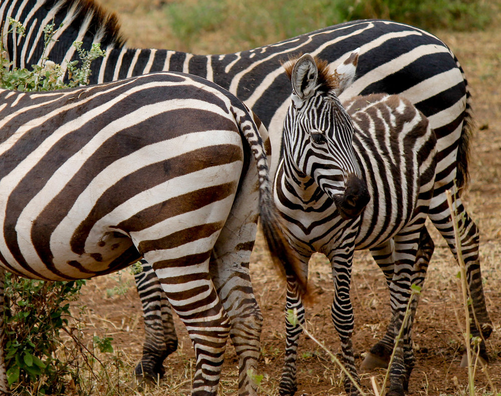 Zebras in Lake Manyara National Park.