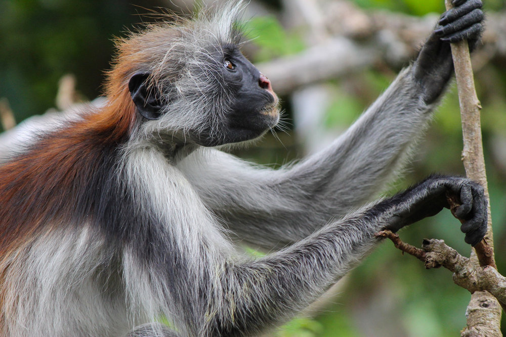 Kirk's red colobus monkey in the Jozani Forest in Zanzibar.