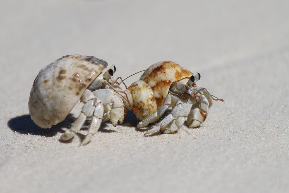 Hermit crabs on the beach on Chumbe Island near Zanzibar.