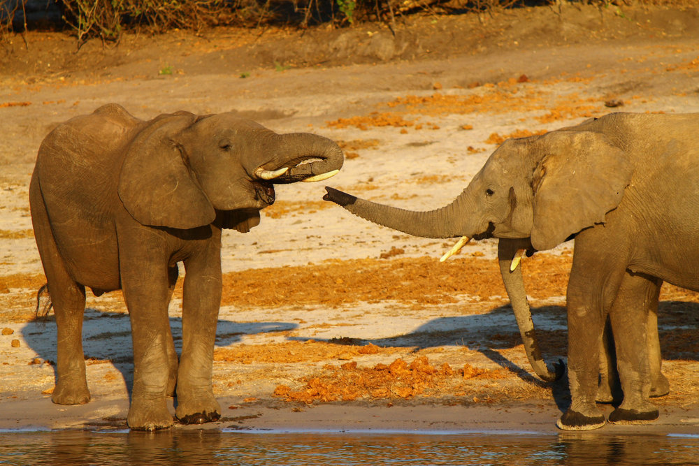 Elephants drinking water from the Chobe River.